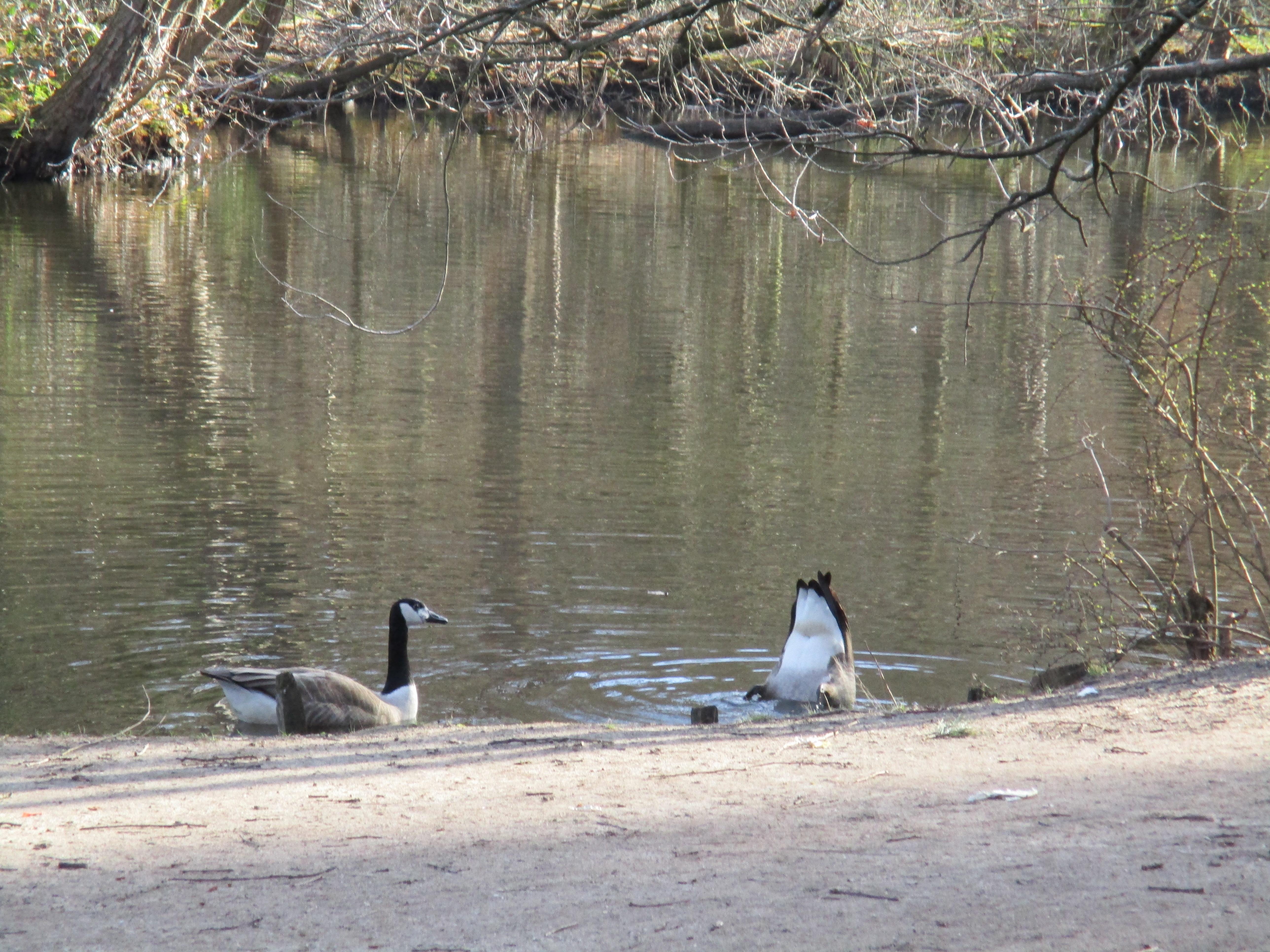 2 Enten im See. Eine davon schaut zu, wie die andere das Schwänzchen in die Höhe reckt.