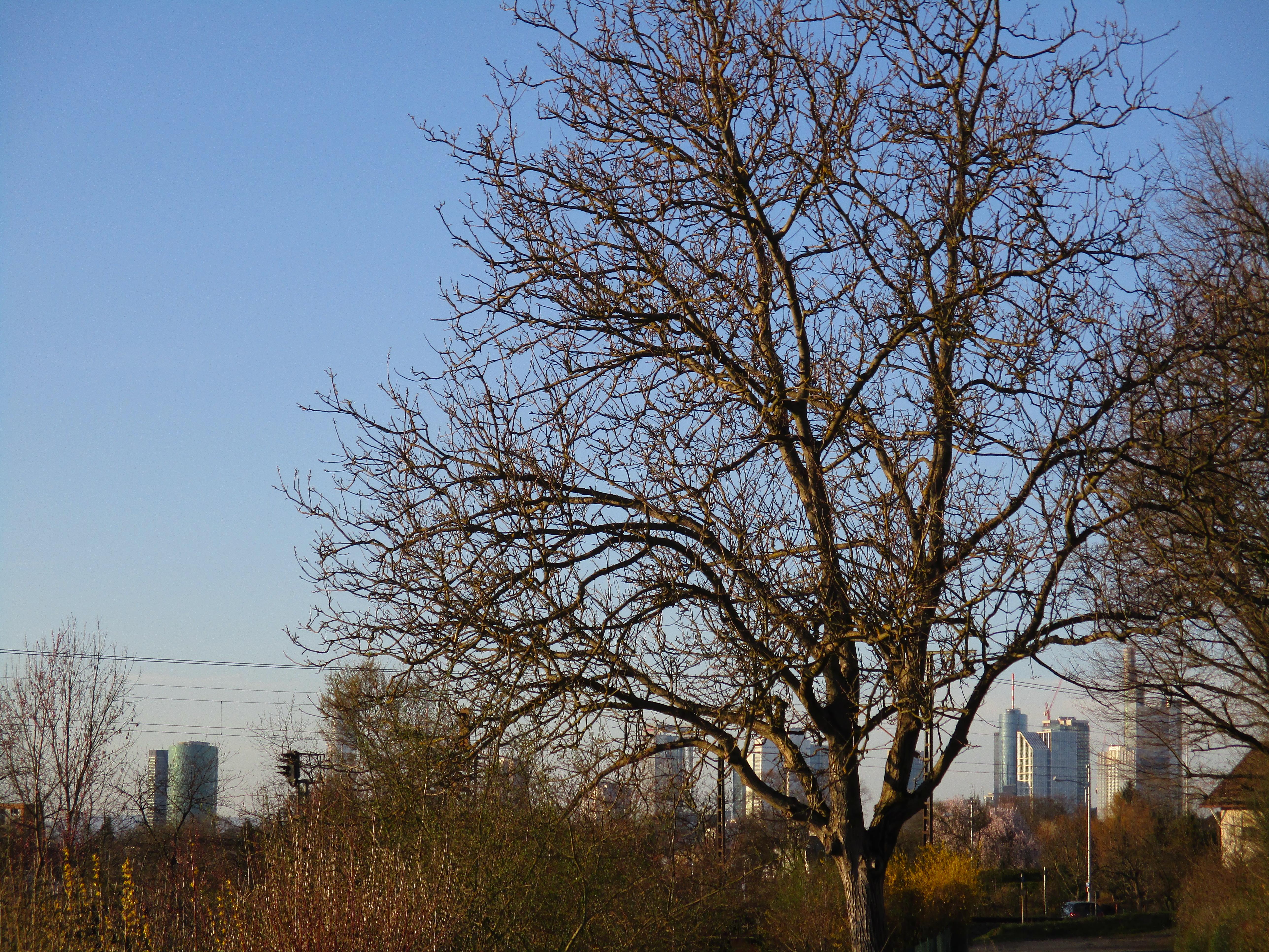 Frankfurter Skyline im Hintergrund, mit einem Baum davor und viel grün.
